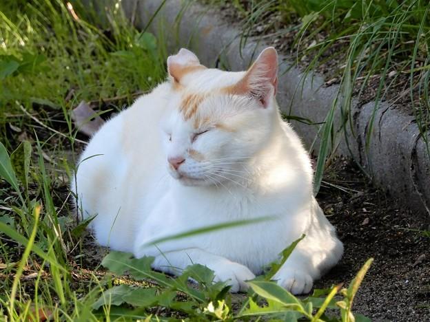 水走公園の白猫・アオメ (10)