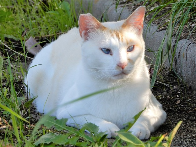 水走公園の白猫・アオメ (11)