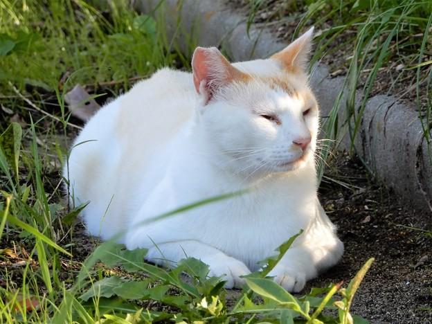 水走公園の白猫・アオメ (12)