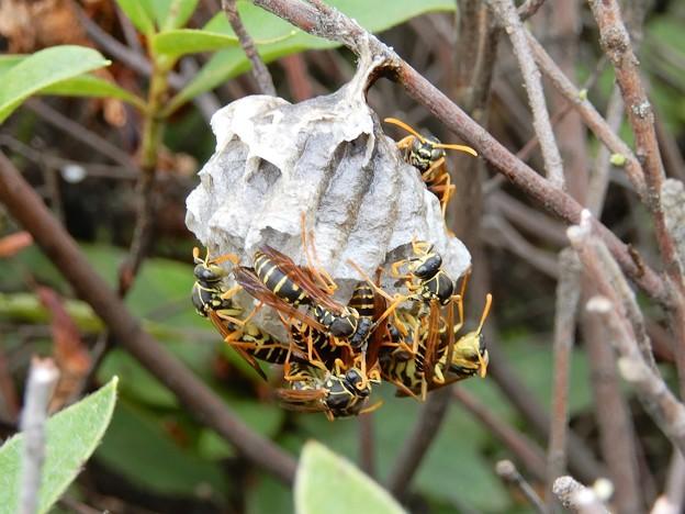 ハチの巣 (4)