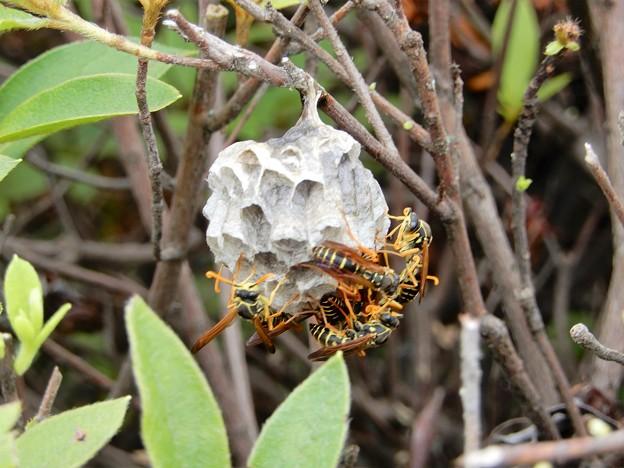 ハチの巣 (1)