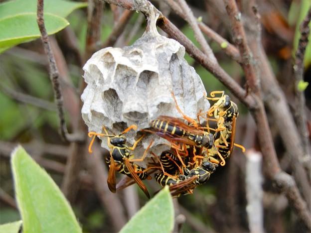 ハチの巣 (2)
