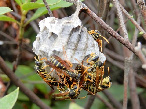 ハチの巣 (3)