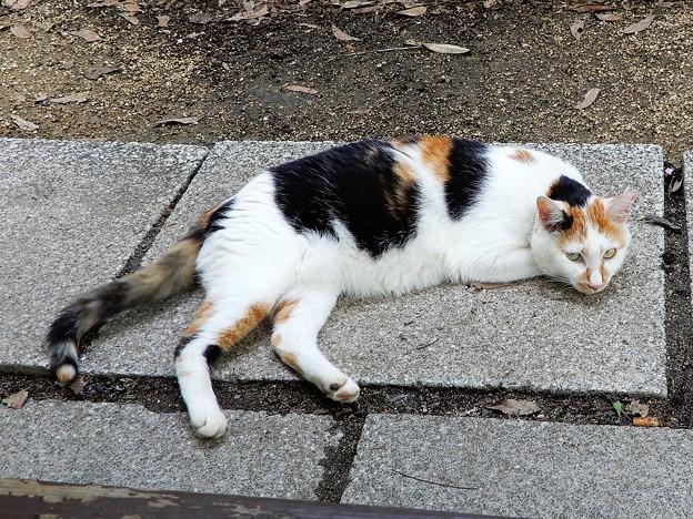 加納緑地の三毛猫ホームレス