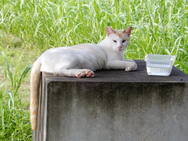 水走公園の白猫アオメ