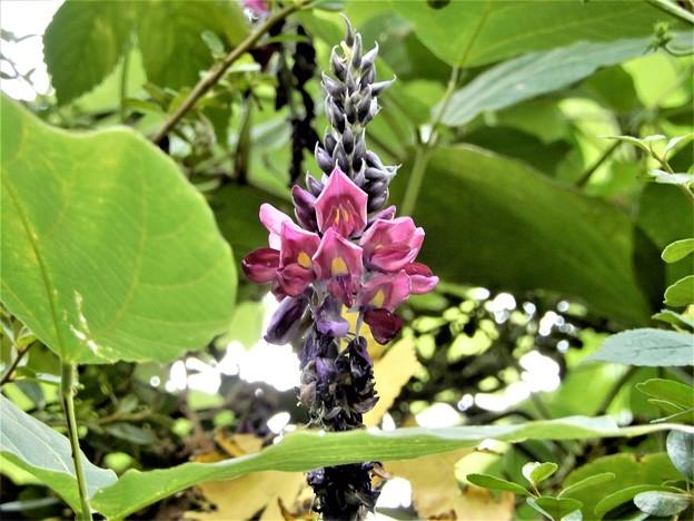 クズの花 (1)