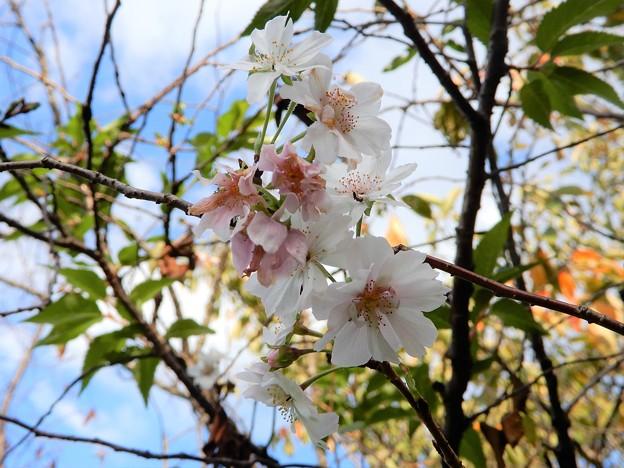 秋に咲くサクラ (2)