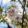 Photos: 秋に咲くサクラ (2)