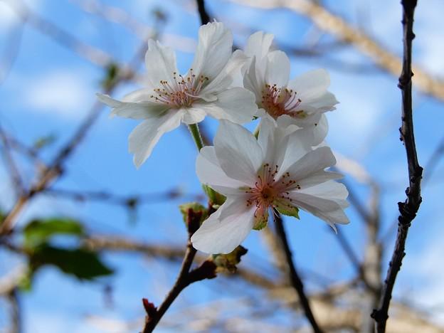 秋に咲くサクラ (1)
