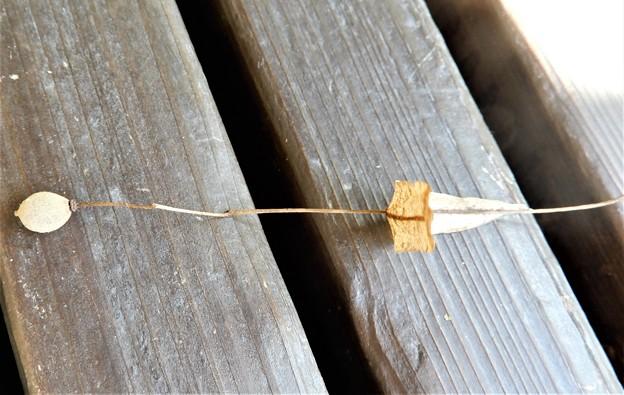 シナノキの実と苞葉(1)