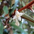 Photos: ナワシログミの花