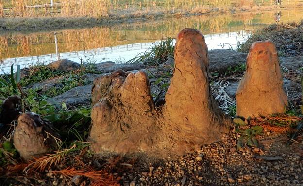 花園中央公園のラクウショウ (3)・気根