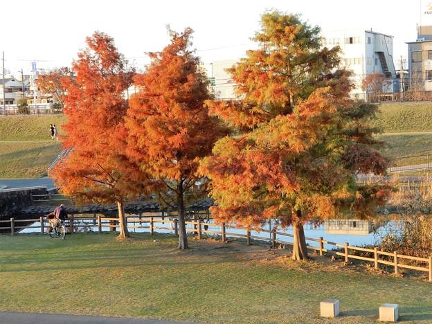 花園中央公園のラクウショウ (1)