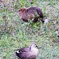 ヌートリアと鴨