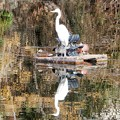 Photos: 白鷺と鴨