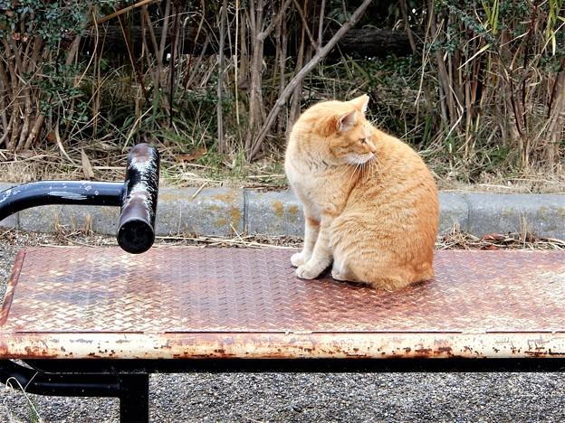 恩智川畔(花園中央公園付近)の猫 (2)
