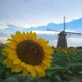 風車とひまわり2