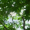 写真: 圓光寺の青もみじ2