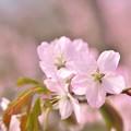 Photos: 栗山公園の桜