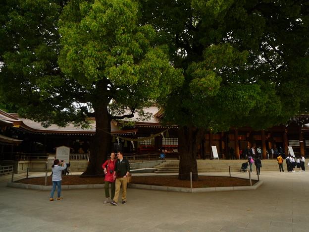 明治神宮 拝殿前の御神木である夫婦楠(めおとくす)