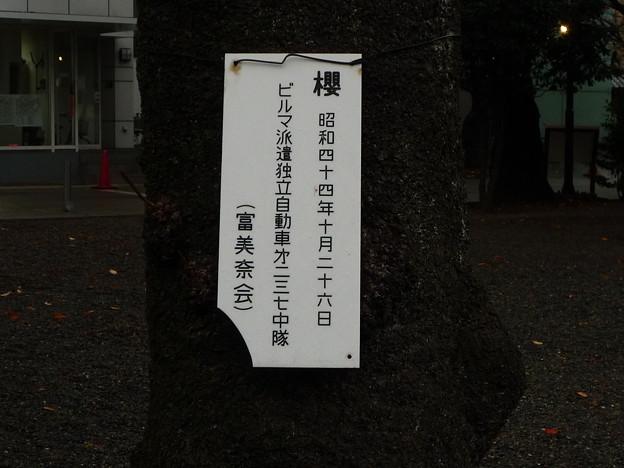 尊い桜の木