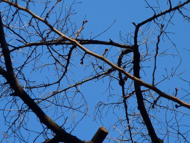 東京都の開花宣言標準木に指定されている桜