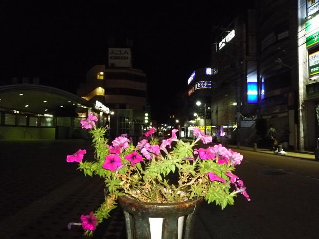成瀬駅前の衝羽根朝顔(つくばねあさがお)