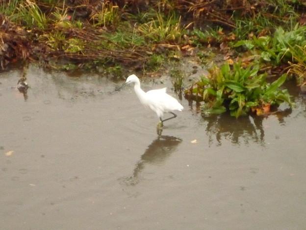 Photos: 雨天の鷺