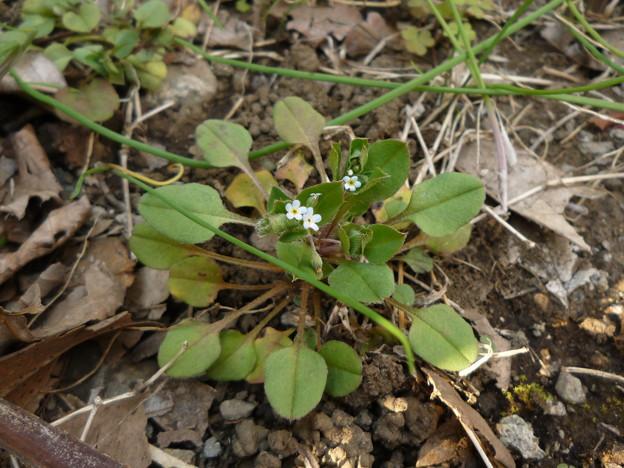 春の胡瓜草
