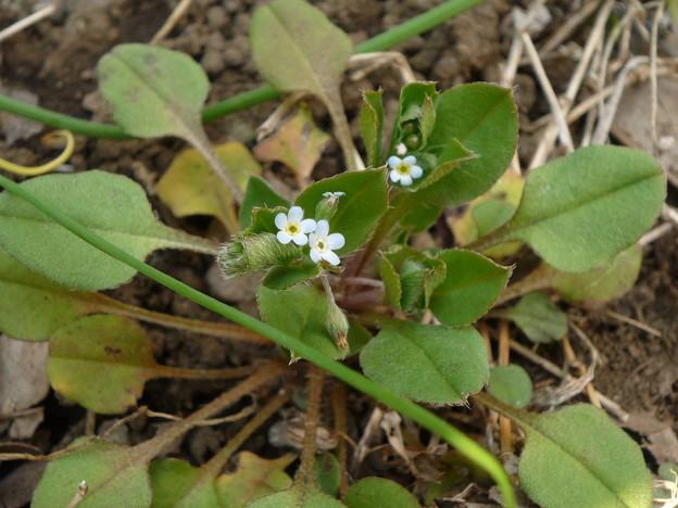 春の胡瓜草2