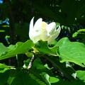 写真: 朴の木の花
