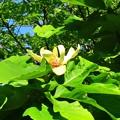 写真: 朴の木の花 (2)