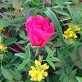 写真: 開花しそう!