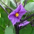 Photos: ナスの花
