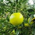 土佐文旦(柑橘)