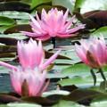 Photos: 睡蓮の花