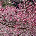 Photos: 咲き誇る梅花