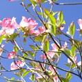 Photos: ハナミズキの開花