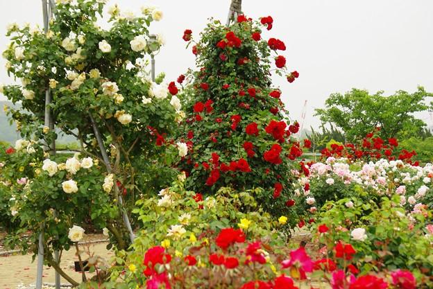 初夏・薔薇の季節