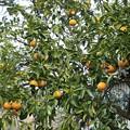 豊作の柑橘類・八朔