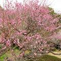 Photos: 紅梅の開花