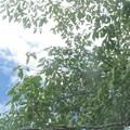 Photos: 夏の桜