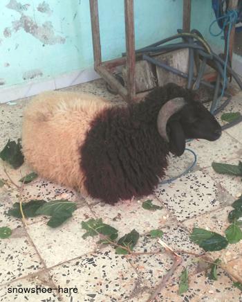 Photos: 犠牲祭用の羊(2018年)