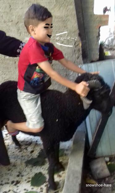 羊に乗ってみた