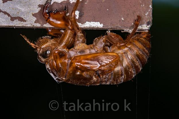 アブラゼミの幼虫抜け殻