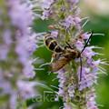 Photos: キンケハラナガツチバチ
