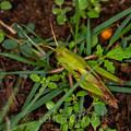 クルマバッタ幼虫
