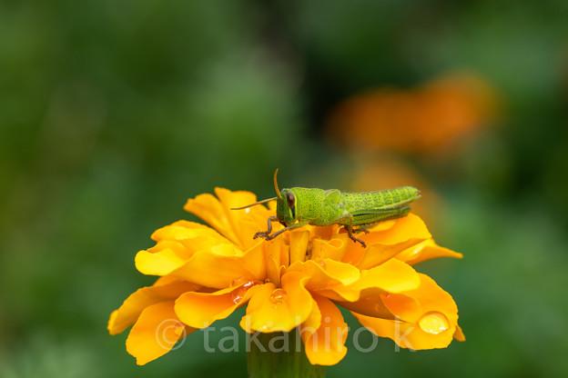 ツチイナゴ 幼虫