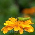 Photos: ツチイナゴ 幼虫