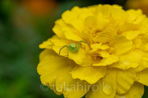 ヒメハナグモ